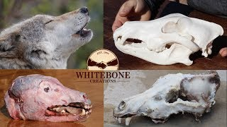 "HOW TO CLEAN WOLF SKULL ""GRAPHIC"""