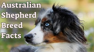 Complete Facts To Know Before Getting An Australian Shepherd Dog