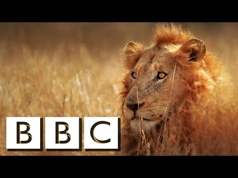 Crazy Animals Documentary 2016 HD ! Lions [Full Documentary]