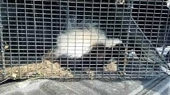 Vance Wildlife removal traps Skunk in Maryland