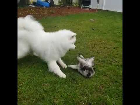 Sister Samoyed Really Wants to Play with her Keeshond Brother
