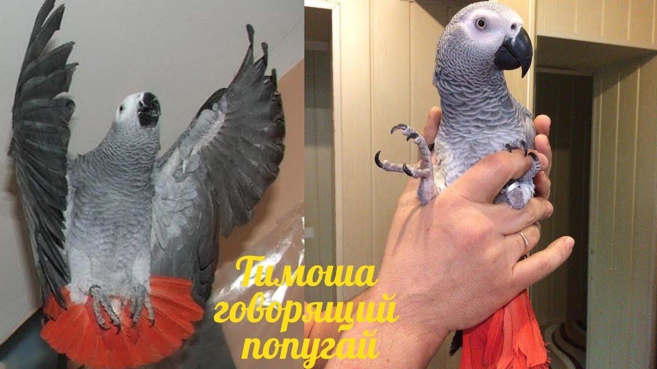 Тимоша говорящий попугай, порода Жако. Подборка видео #4