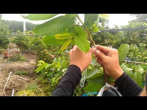 Grafting in guava tree