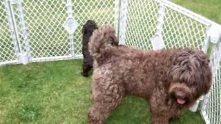 Courtlands Asd Labradoodle Puppies