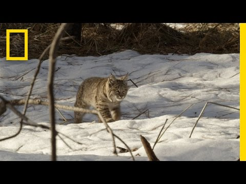 Thumbnail for Cat Video Bobcat Kittens Hunting