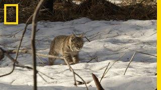 Bobcat Kitten Hunting Lesson | America's National Parks