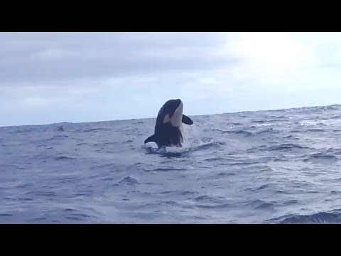 Whale Watching in the Azores - Orca Whales Jumping