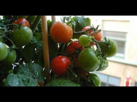 Выращивание томатов на окне, сорта Балконное чудо, Комнатный сюрприз, Пиноккио. часть 1