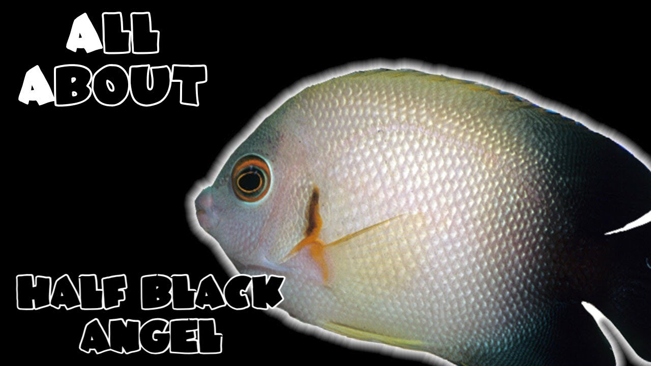 all about the half black angelfish youtube