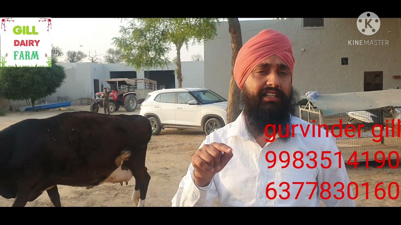 Download 8 गाय जा रही है गुजरात gill dairy  farm sri ganganagar rajasthan de.