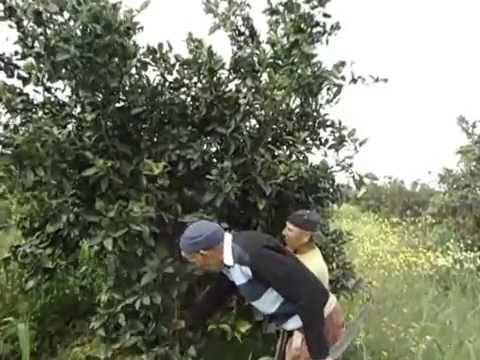 taille arbres fruitiers agrumes 2015 avec rahi maamar maitre tailleur youtube. Black Bedroom Furniture Sets. Home Design Ideas
