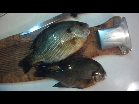How To #6: Filleting Bluegill and Other Sunfish (Regular Fillet Knife)