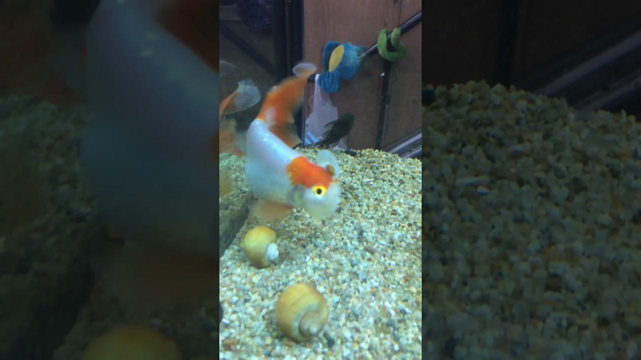 Golden fish, koi, caracol manzana, más grandes, acuario de ...
