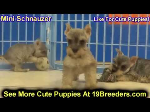 Miniature Schnauzer, Puppies, Dogs, For Sale, In Columbia, South Carolina, SC, Mount Pleasant