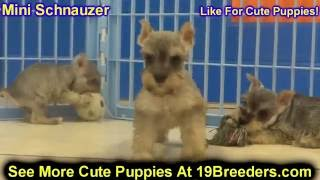 Miniature Schnauzer, Puppies For Sale, In, Nashville, Tennessee, Tn, County, 19breeders, Knoxville,
