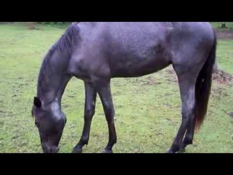 Marsh Tacky-Blue Roan