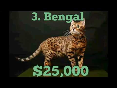 Top 5 | Most Expensive Cat Breeds