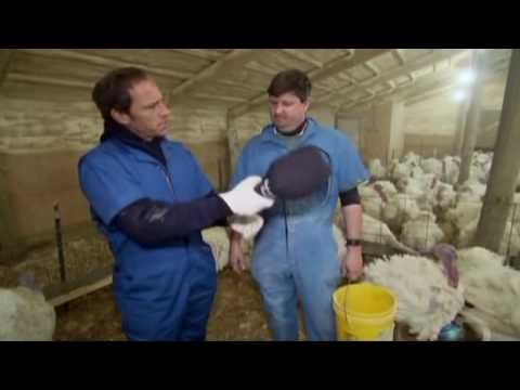 Mike Rowe Dirty Jobs Turkey Insamination