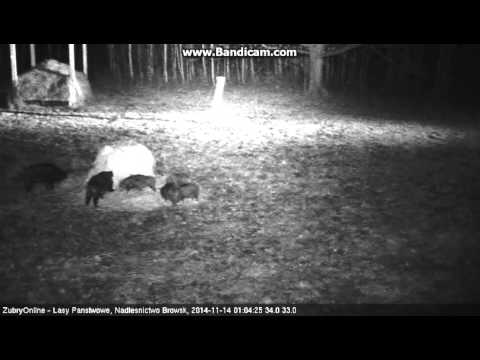 Bison Feeding Grounds Cam ~ Nocturnal Guests: Wild Boars & Fox