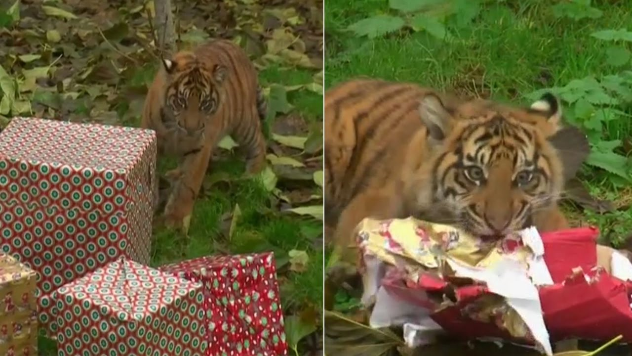 London Zoo At Christmas.Watch Christmas Presents For Animals At London Zoo