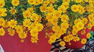 Best Summer Flowering Plant - Thymophylla || How to Grow and Care Thymophylla Plant