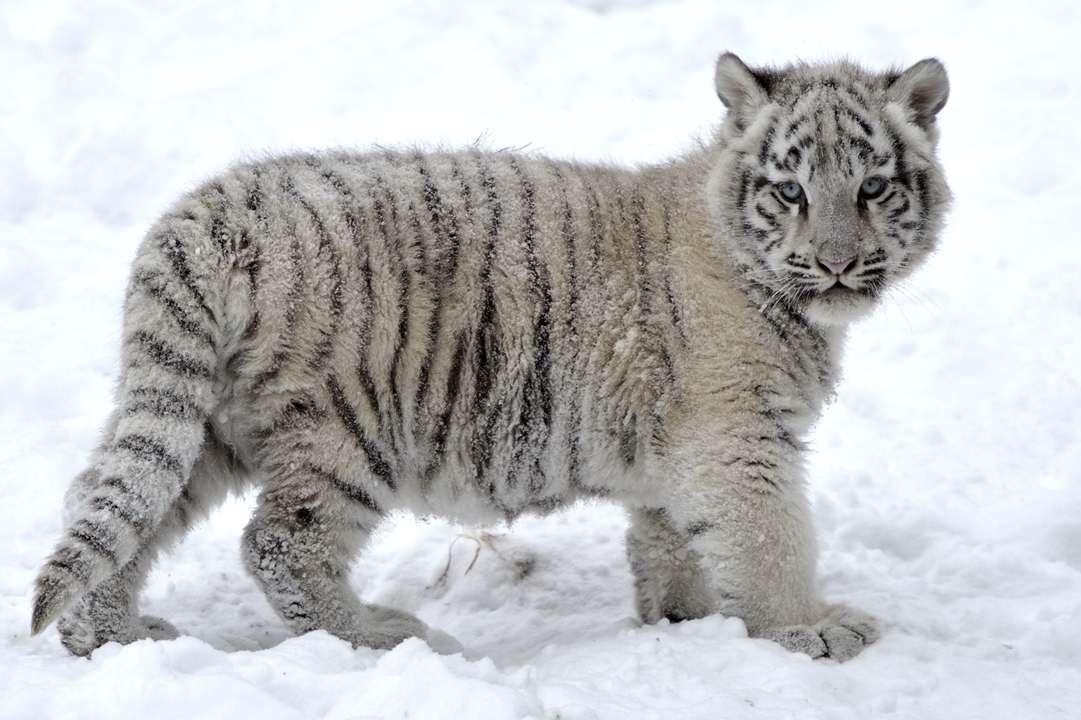 Картинки белых амурских тигров