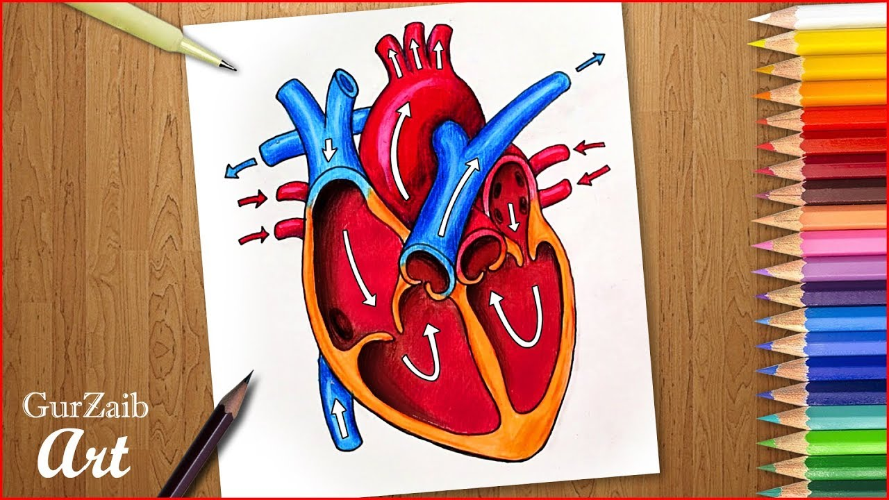 How to draw human heart diagram drawing || Heart anatomy ...