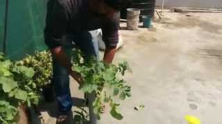 Growing Radish in Containers - How to grow radish in PVC Pipe