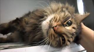 Meet Alex a Maine Coon currently available for adoption! 2/11/2019 10:17:27 AM