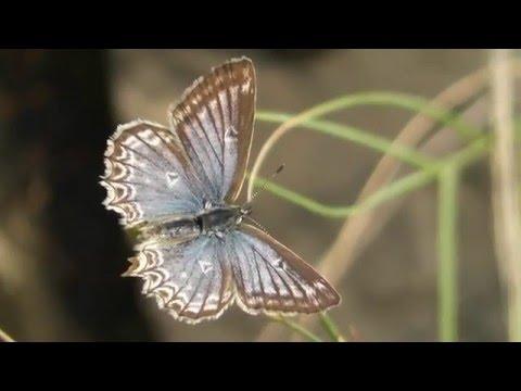 Butterflies of the Maritime Alps 2015 pt2