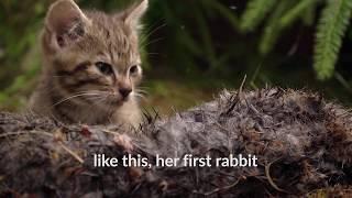 إنقاذ قطتين نادرتين في الجبال الاسكتلندية