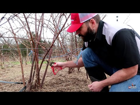 When To Prune Blackberry Bushes