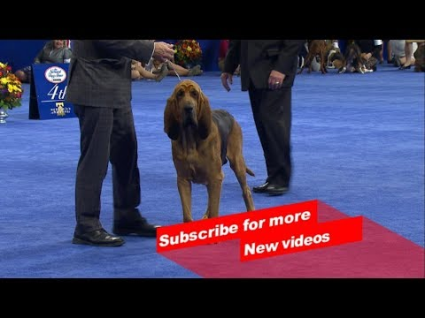Wow ! Most Amazing dog breeds | Bangalore championship dog Show | Blood Hound  |