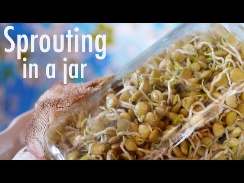 How to Grow Sprouts in a Jar!