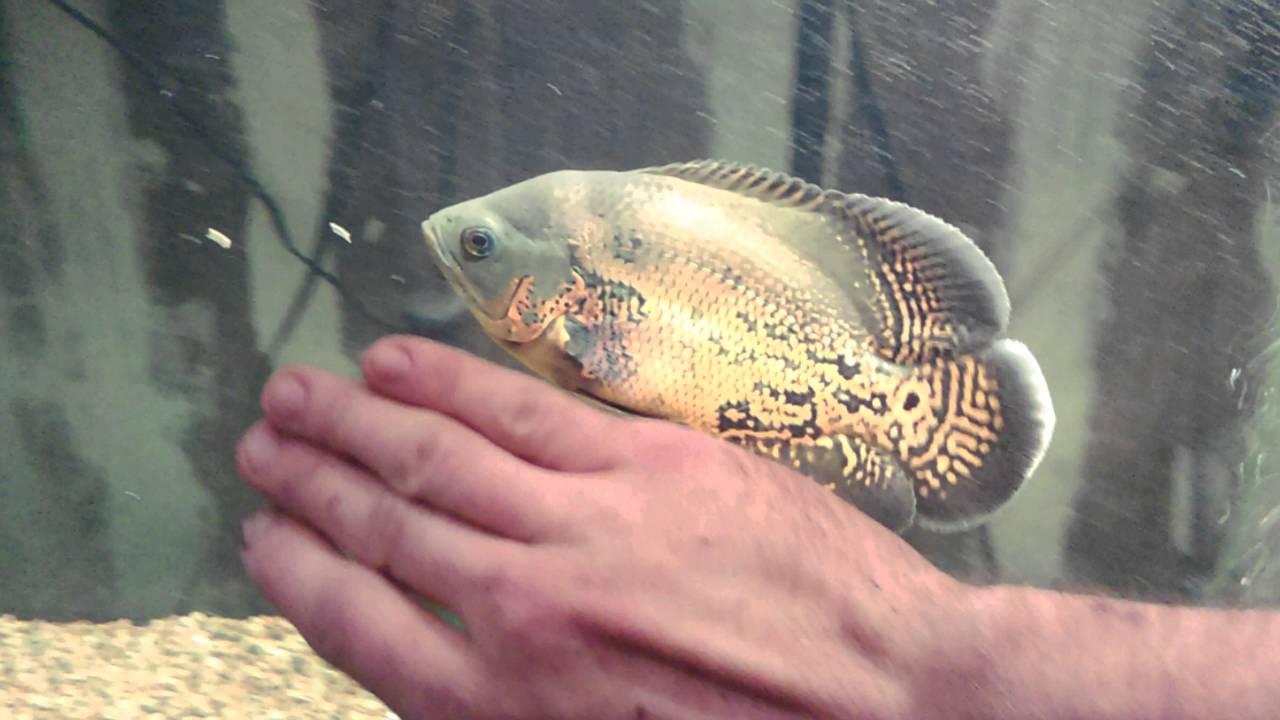 Oscar fish growth youtube for What is an oscar fish