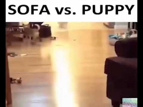 Sofa vs pet dog funny fail. Prank went wrong talent show accident loving pets playhouse Kennel malad