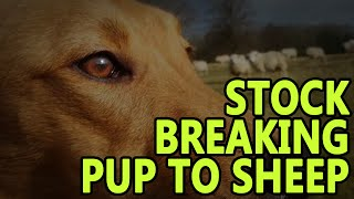 Stock Breaking A Pup To Sheep | Dog Training