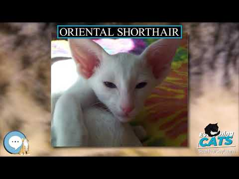 Oriental Shorthair 🐱🦁🐯 EVERYTHING CATS 🐯🦁🐱