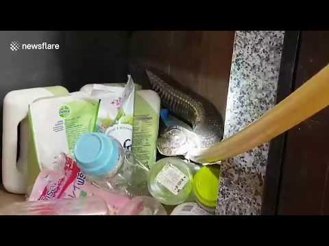 Coșmar în bucătărie! Salvatorul lupta cu cobra regele de 17ft capturat sub chiuveta