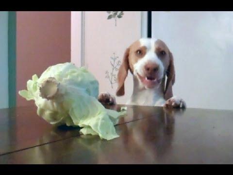 Dog Steals Cabbage : Cute Dog Maymo