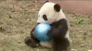 Panda-Babys in China