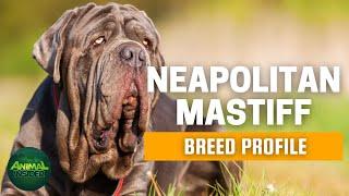 Neapolitan Mastiff Dogs 101 | Mastino Napoletano | The Ancient Canine Guardian Since the Bronze Age