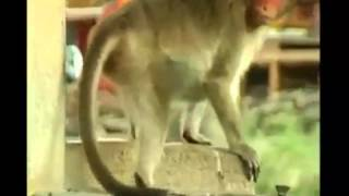 Amazing! Monkey cares more than people; turns off tap to conserve water.