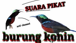 Download Lagu Suara pikat konin #arif_channel mp3