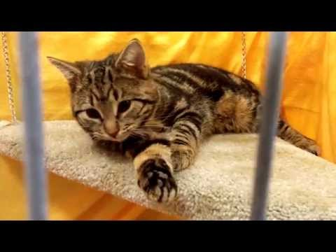 Tynwald Manx Kittens