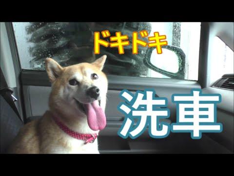 柴犬小春 洗車機初挑戦!にドキドキ^^ Car wash with shibainu Koharu!