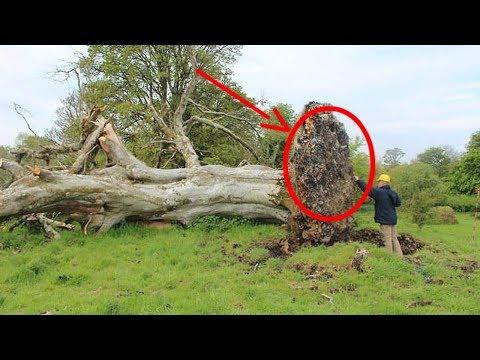 Yüzyıllık Ağacın Kökünden Bakın Ne çıktı! Bilim Adamlarını Şaşırttı.