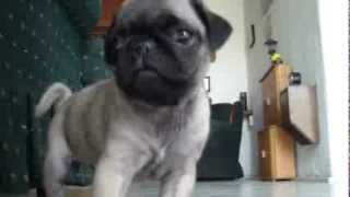 SMALL PUG Talking To The Camera