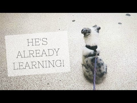 PUPPY STARTS TRAINING!