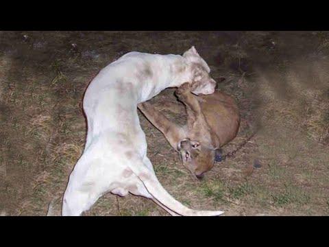 sala madre fantasma  Dogo Argentino VS Mountain Lion Puma Cougar Fight - Trained Dogo Dog Attack  Puma Cougar - YouTube